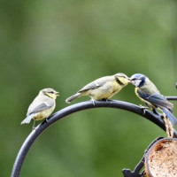 Blue Tits feeding by Beverley