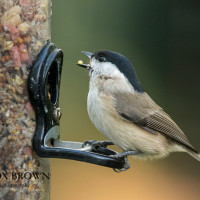Marsh Tit by NWB
