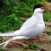 Artic Tern by Jim Hand - Artic Tern by Jim Hand