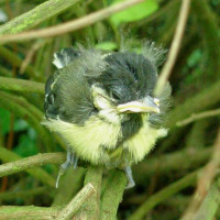 Baby Blue Tit by Julia David - Robin and Tit mix please!