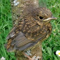 Baby Robin by Julia David - Robin and Tit mix for lunch?
