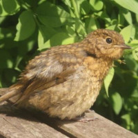 Baby Robin by Natalie Reardon - Baby Robin in the sunshine by Natalie Reardon