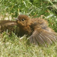 Baby Robin loves Mealworms - Baby Robin from Natalie Reardon