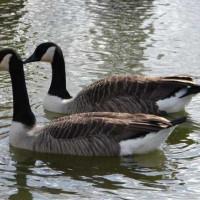 Barnacle Geese by Brenda - Barnacle Geese