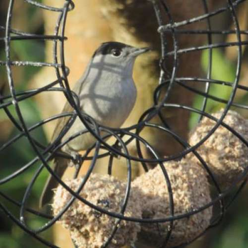 Black Cap by Rob Gough - Black Cap in Newport Shropshire Enjoying great quality Suet Balls from British Bird Food - Thanks David will be back for more soon!