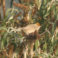 Black Cap female by Jo Mills - wild bird food suppliers, garden bird feeders, peanuts, sunflower hearts, garden bird mixes