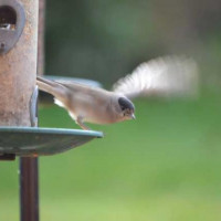 Black Cap by Will Hare - Fleeing the feeder after enjoying a feast of our No Mess Seed Mix!
