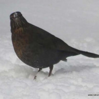 Blackbird in the snow by Greg Laver - A familiar sight in the last month!