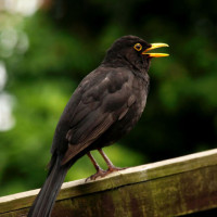 Blackbird - and Thrush Food - Morning has broken - Blackbird has spoken!