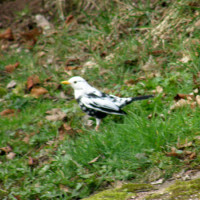Blackbird by Glyn Jones - A White / Blackbird in Lockley wood by Glyn Jones