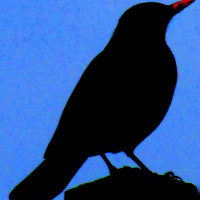A shady Blackbird by Jodie - Blackbird and Thrush food at British Bird Food is a brillient mix for all your garden birds.