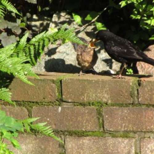 First time out of the nest - Blackbird and Thrush food is ideal for your garden songbirds