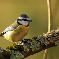 Blue Tit by Robert Hamilton - Blue Tits love to eat Robin and Tit mix