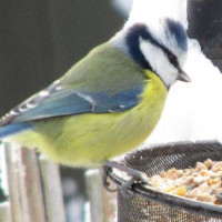 Blue Tit feeding by Jodie - Blue Tit's love Robin and Tit Food as well as mealworms for birds.