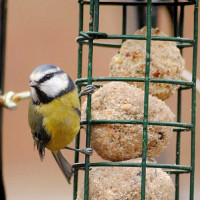 Blue Tit by Barry Woodhouse - Blue Tits love Robin and Tit Food