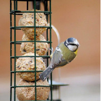 Blue Tit by Barry Woodhouse - Robin and Tit food is great for Blue Tits