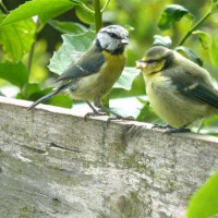 Parent and Child by Sue Mumford - Blue Tits young and old will enjoy Robin and Tit mix from British Bird Food