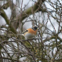 Brambling by Will Hare - Another lovely image from Will - a Brambling in its typical habitat