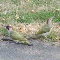 Stephen Bourton's pair of Green Woodpeckers. - Green Woodpeckers in the garden