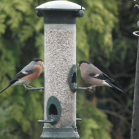 Bullfinches by Glyn Jones - Bullfinches love sunflower hearts. One of two pairs in Lockley wood