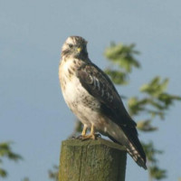 Buzzard by Glyn Jones - One of the Lockley Wood Buzzards, not far from BBF HQ!