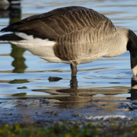 Canada Goose by Karen Wood - Canada Goose at nearby Moses Country Park