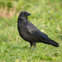 Carrion Crow - Garden Bird Food - A Crow, out for a stroll