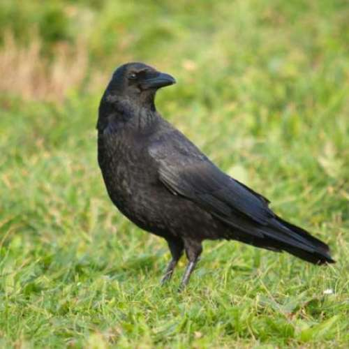 Carrion Crow - Garden Bird Food - A Crow, out for a stroll