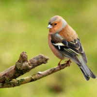 Chaffinch, Autumn Conditioner, Sunflower Hearts - Chaffinch perched on a branch