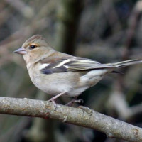 Female Chaffinch by Jim McKinna - Female Chaffinch - will enjoy Standard mix