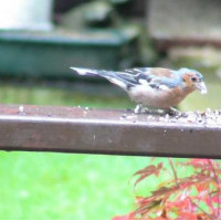 Chaffinch - Garden Bird Food - Stumpy the Chaffinch, Sent in by Wendy from Hertfordshire
