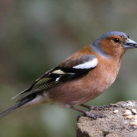 Chaffinch - Garden Bird Seed - A Chafffinch taking seed by Barry from Bedfordshire