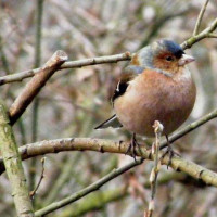 Chaffinch - Niger Seed - Finch Food - Chaffinch by Brian Page