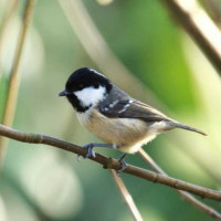 Coal Tit - Autumn Conditioner Mix - A Coal Tit on a branch