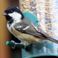 Coal Tit by Shaun Donoclkey - Robin and Tit Food