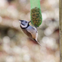Crested Tit - Garden Bird Seed - Crested Tit - Only found in Scotland