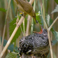 Cuckoo - A Reed Warbler feeding a Cuckoo chick - by Per H Olsen
