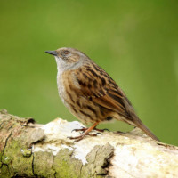Dunnock - Wild Bird Food - Dunnock on a log