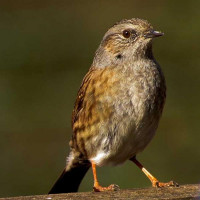 Dunnock by JUNE SOBIECHOWSKI - Dunnock's love our Winter mix bird food