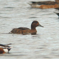 ferruginious duck by Barry Woodhouse - Ducks eat mixed corn