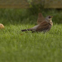 Fieldfare by Jill Barrow - Tempted into the garden by windfall apples!