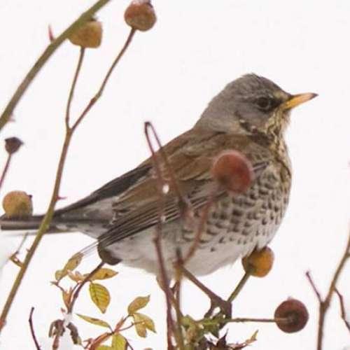 Fieldfare - Wild Bird Seed - Feildfare in the snow by Barry Baguley