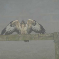 Foggy Buzzard by Glyn Jones - You looking at me ???