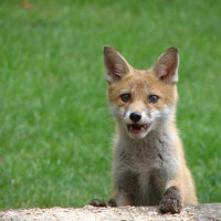 Fox cub by Brenda - Hello - what's up 'ere then?