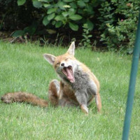 Fox yawning by Brenda - Soon be tea time!!