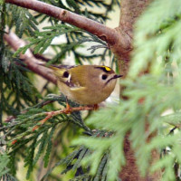 Goldcrest - Garden Bird Food - The smallest bird in Europe, and the national bird of Luxembourg!
