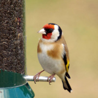 Goldfinch, Niger seed, Finch Food - A Goldfinch enjoying a meal on a Niger seed feeder