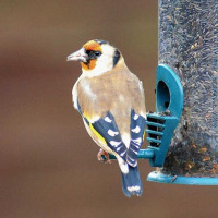 Goldfinch by Barry Woodhouse - Goldfinches love Finch Food