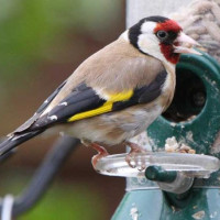 Goldfinch - Finch Food, Niger Seed - Goldfinch by Barry Baguley