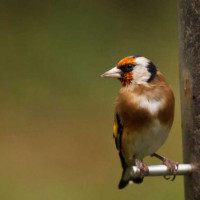 Goldfinch by Martin Wood - Another high quality picture from Martin. Goldfinches love our Niger Seeds!